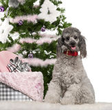 Poodle, 18 months old, sitting with Christmas Stock Images