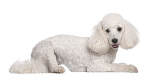 Poodle (2 years old) Royalty Free Stock Photo
