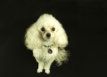 Poodle. Portrait of White Toy Poodle Stock Image
