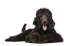 Poodle. Standard Poodle lying on white background Stock Image