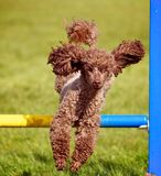 Poodle. An active Chocolate Poodle dog jumping a hurdle having agility training royalty free stock images