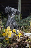Poodle με τους κώνους πεύκων Στοκ Εικόνα