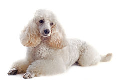Poodle Stock Image