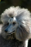 Poodle Stock Photos
