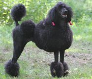 Poodle. Dog a black poodle Royalty Free Stock Photo