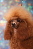 Poodle Royalty Free Stock Photos