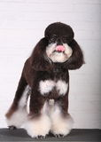 Poodle. In front of white background stock images