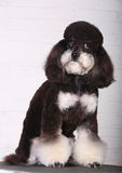 Poodle. In front of white background royalty free stock photography