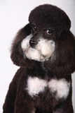 Poodle. In front of white background royalty free stock images