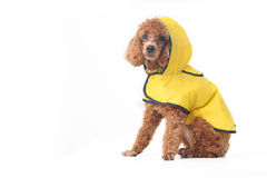 Poodle Royalty Free Stock Photography