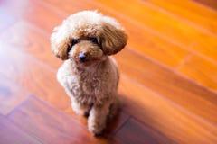 poodle Royaltyfria Bilder