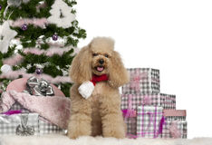 Poodle, 5 years old, sitting with Christmas tree Stock Photography