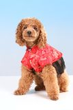 Poodle. Brown toy poodle with red Chinese dress Royalty Free Stock Images