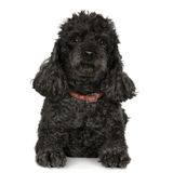 Poodle (7 years) Royalty Free Stock Images