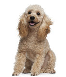 Poodle, 9 years old, sitting Stock Photo