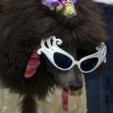 Poodle Royalty Free Stock Image