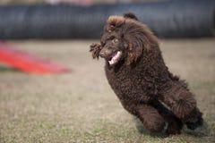 poodle Imagem de Stock Royalty Free