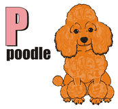 Poodle and abc. Orange poodle sit with black word poodle and pink letter p Stock Photography
