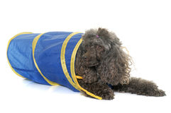 Poodle in agility Stock Images