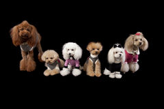 Poodle all sorts Stock Photo