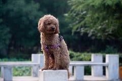 Poodle, also known as the `poodle`, also known as the `poodle dog` stock photography