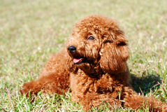 Poodle bask in the sun. Poodle lying on the lawn bask in the sun Stock Photo