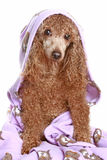 Poodle after a bath. Poodle apricot after a bath, isolated on white background royalty free stock photography
