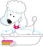 Poodle Bath. A cute poodle is getting a bath Royalty Free Stock Photography