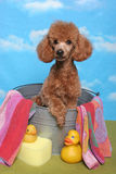 Poodle in a bath tub Stock Photo