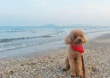 Poodle on the beach. Dog on the beach Royalty Free Stock Image