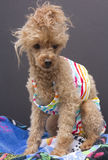 Poodle On Beach Towel Royalty Free Stock Photography