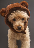 Poodle In Bear Ears Royalty Free Stock Photography