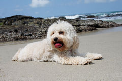 Poodle Bichon Royalty Free Stock Images