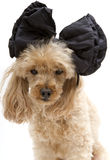 Poodle In Big Bow Stock Photo