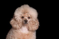 Poodle on a black background. Portrait of a poodle on a black background, isolate Royalty Free Stock Images