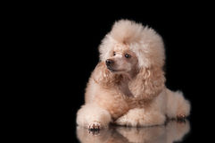 Poodle on a black background with reflection. Apricot-colored poodle lying on glass on a black background Royalty Free Stock Photo