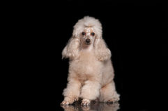 Poodle on a black background with reflection. Poodle abrikosovgo color sits on the glass on the black background Stock Image