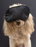 Poodle In Black Sleep Mask Royalty Free Stock Images