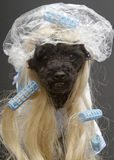 Hot Mess In A Shower Cap. A poodle in a blonde wig and curlers with a shower cap,  on a gray background Royalty Free Stock Photography