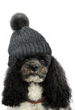 Poodle with bobble hat. Harlequin poodle with grey bobble hat Royalty Free Stock Photos