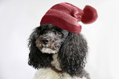 Poodle with bobble hat Stock Images