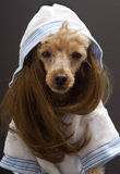 Brunette Poodle In Bathrobe. A poodle with a brunette wig and bathrobe  on a gray background Royalty Free Stock Photo