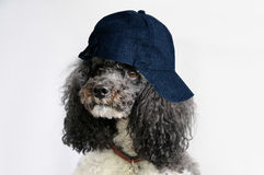 Poodle with cap Stock Photography