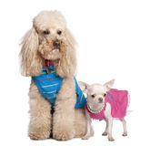 Poodle and chihuahua Royalty Free Stock Photography