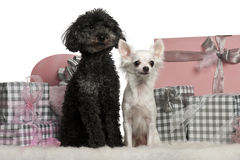 Poodle and a Chihuahua sitting with Christmas Royalty Free Stock Photos
