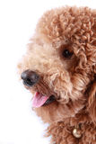 Poodle close-up Stock Photos