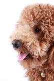 Poodle close-up Stock Photos