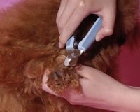 Poodle Cosmetologystep Stock Photo