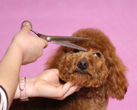 Poodle Cosmetologystep Stock Photography