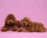 Poodle Cosmetologystep Stock Image